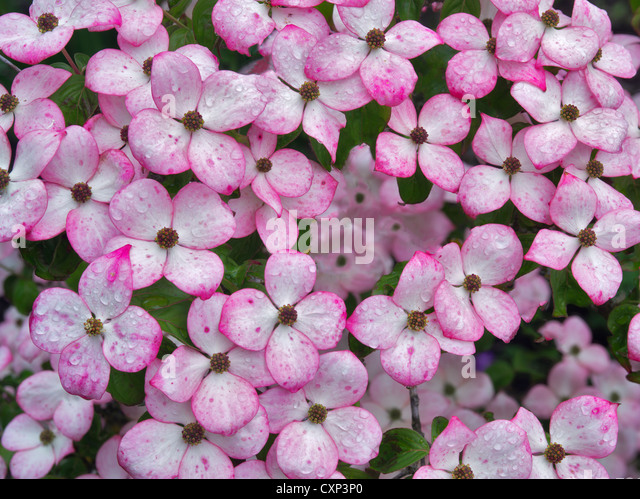 Close up of Dogwood flowers. Hughes Water Gardens, Oregon - Stock Image