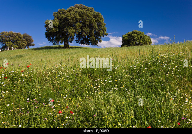 Wild flowers in field, spring, nr Olvera, Andalucia, Spain - Stock Image