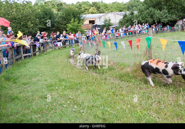 A fun sport at Bockett's farm in Surrey in England. The crowds are cheering for their favourite pig. - Stock Image