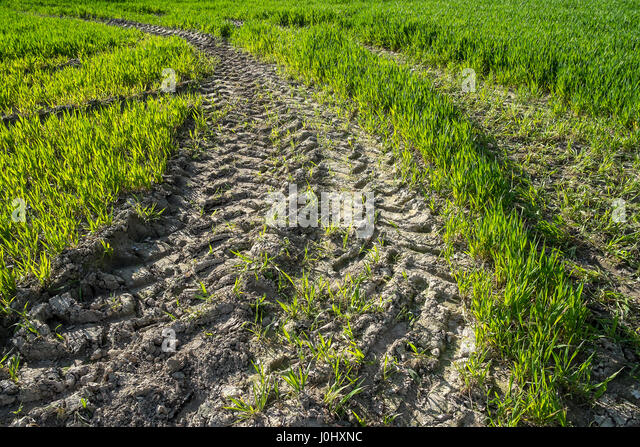 Muddy tractor tracks in field of new crops. - Stock Image