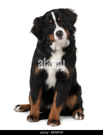 Bernese mountain dog puppy, 6 months old, sitting in front of white background - Stock Image
