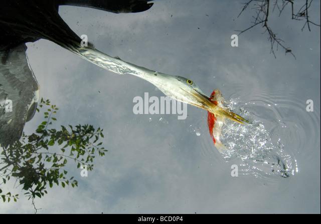 GREY HERON (Ardea cinerea) catching a fish. View frow below. - Stock Image