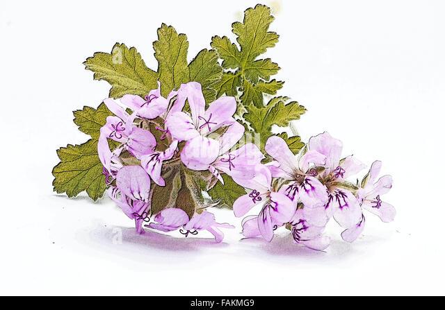 Pale Pink Pelargonium Stock Photos Amp Pale Pink Pelargonium