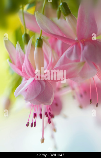 Soft pink Fuchsia flowers - Stock Image