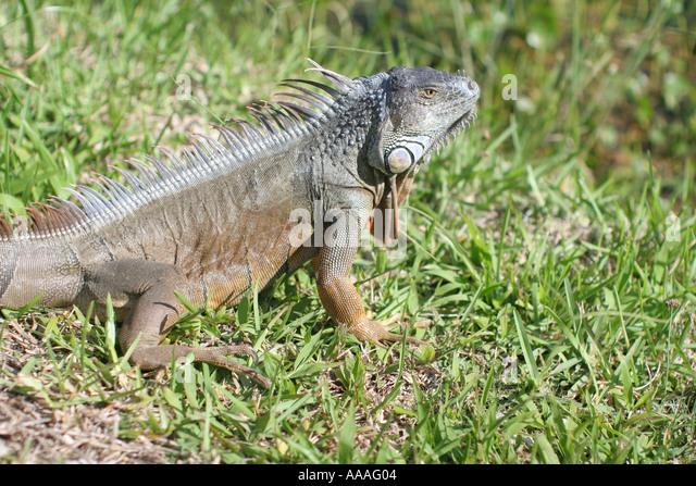 Florida, land iguana, reptile, lizard, grass, - Stock Image