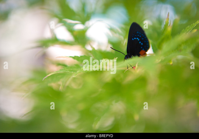 butterfly hiding in maple leaves, black and blue wing tip, delicate - Stock Image