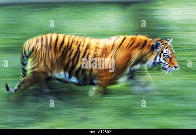 Tiger walking - Stock-Bilder