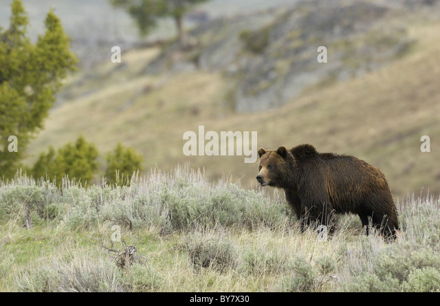 Grizzly boar in Yellowstone National Park. - Stock Image
