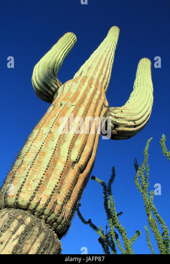 Saguaro Cactus (Carnegiea Gigantea) in Saguaro National Park, Tucson. Arizona, United States - Stock Image