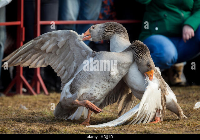 Geese during the traditional March goose fights in the town of Suzdal in the Vladimir region, Russia - Stock Image
