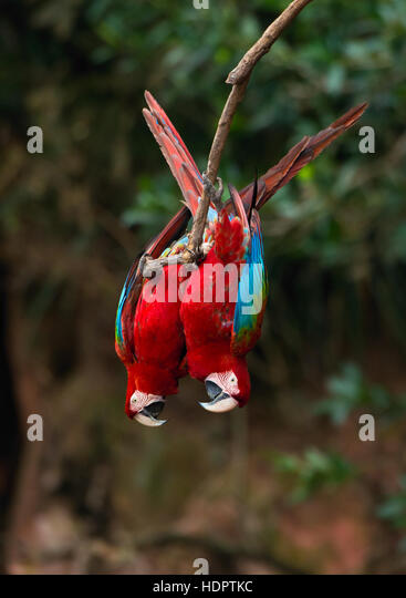 Two Red-and-green Macaws hanging upside down from a tree branch - Stock Image