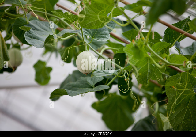 A cantaloupe melon growing on a vine - Stock Image