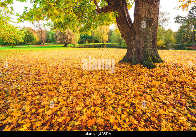 Autumn maple leaves in yellow colors covering the ground in a park in autumn under a large tree with fallen leaves - Stock Image