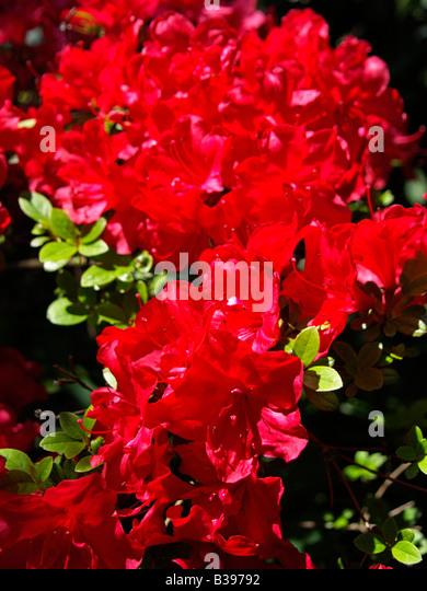 rhododendren stock photos rhododendren stock images alamy. Black Bedroom Furniture Sets. Home Design Ideas