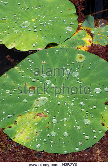 lotus leaves and droplets details - Stock Image