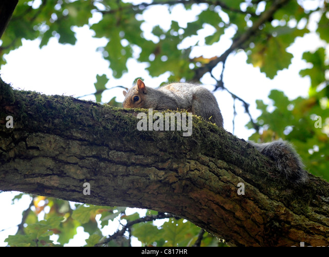A young squirrel up a tree relaxing - Stock Image