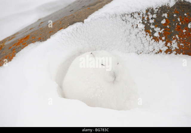 Arctic Hare (Lepus arcticus) Taking refuge from wind in lee of boulder Churchill Manitoba Canada - Stock-Bilder