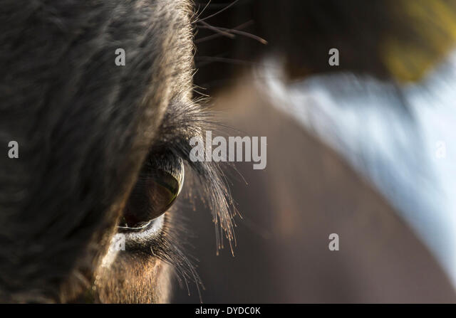 Close up of the eye of a calf. - Stock Image