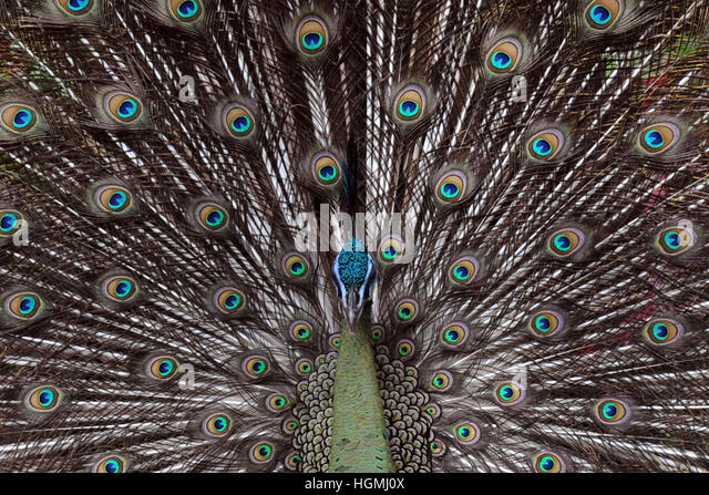 Singapore. 11th Jan, 2017. A green peafowl displays its tail feathers in Singapore's Jurong Bird Park, Jan. - Stock Image