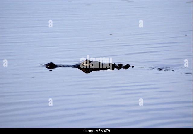 St Johns River Florida american alligator wildlife nature - Stock Image