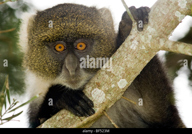 Sykes' Monkey - Mount Kenya National Park, Kenya - Stock Image