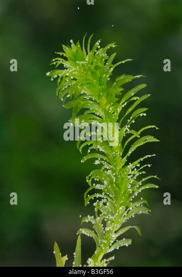 Sprig of the aquatic plant Elodea, pond weed producing oxygen bubbles from photosynthesis - Stock Image