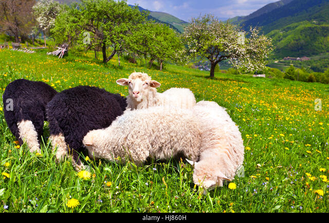 sheep on a farm in the spring in the mountains - Stock Image