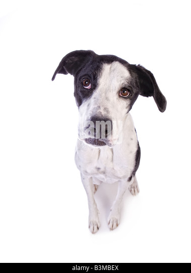 Bashful or sad Black and white Great Dane mix dog with pouty mouth isolated on white background - Stock Image