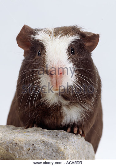 Guinea Pig, cavy porcellus, - Stock Image