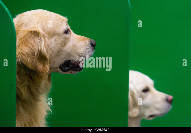 Two Golden Retrievers from the Southern Golden Retriever Display Team rest before their show. Discover Dogs sponsored - Stock Image