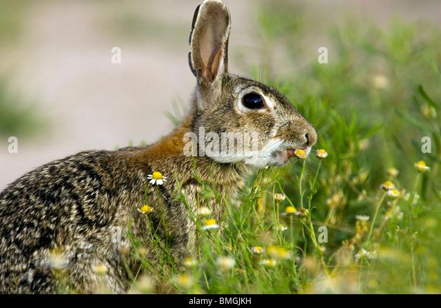 Eastern Cottontail Rabbit - Los Novios Ranch - near Cotulla, Texas USA - Stock Image