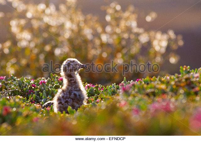 Western gull chick [Channel Islands National Park]California. - Stock-Bilder