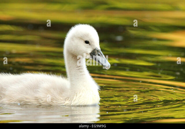 Mute swan cygnet. London UK - Stock Image