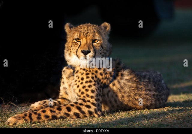 Cheetah basking in the afternoon sun at Umkondo Cheetah Rehabilitation Centre near Mosselbay, Western Cape, South - Stock Image