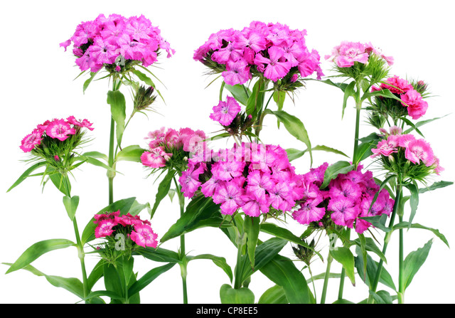 Flowers pink carnations bush. Isolated on white. - Stock Image