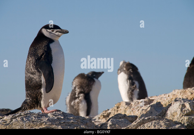 Chinstrap penguin, Gourdin Island, Antarctic Peninsula, Antarctica, Polar Regions - Stock Image