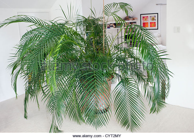 how to grow areca palm from seed
