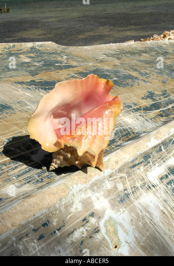 Bahamas bahamaian islands queen Pink conch shell - Stock Image