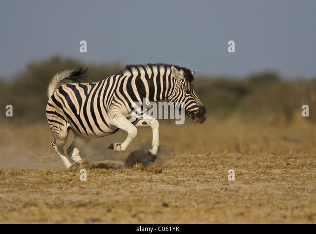 Zebra displaying, Etosha National Park, Namibia. - Stock-Bilder