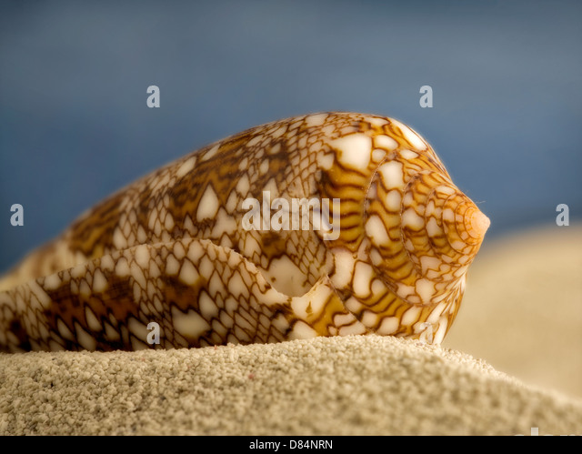 Close up of Textile Cone seashell on beach sand. - Stock Image