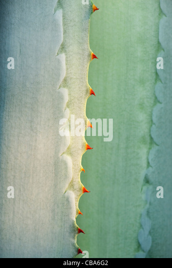 Agave americana spines abstract - Stock Image