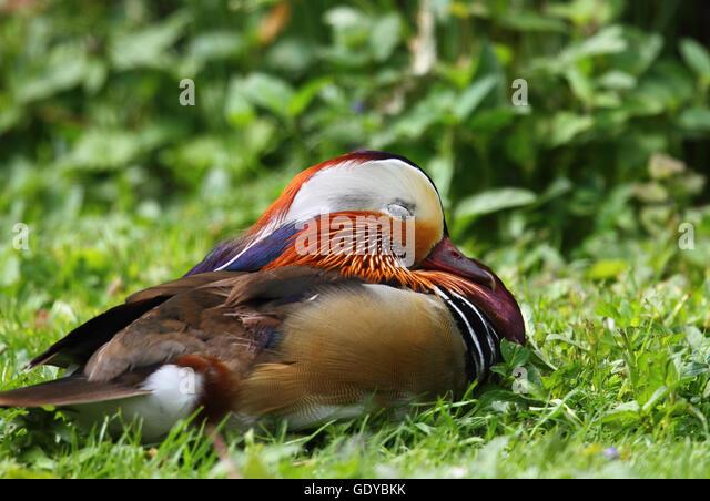 Mandarin Duck (Aix galericulata) - Stock Image