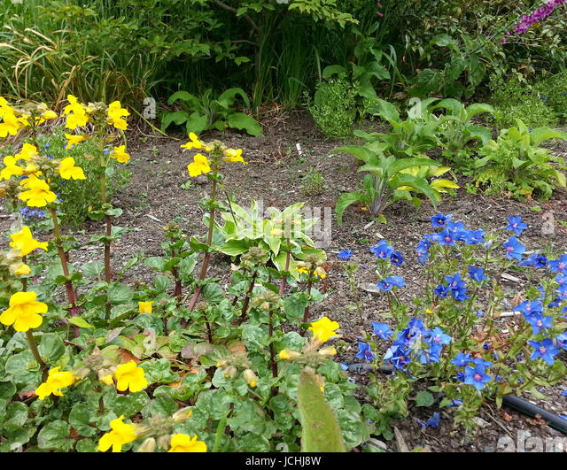 Blue and Yellow Contrasting Flowers - Stock Image