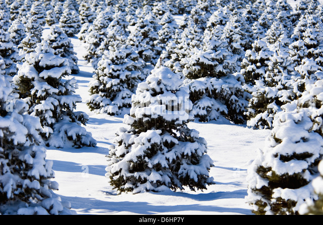 Spruce Trees Covered in New Snow in Clark County, Indiana - Stock Image