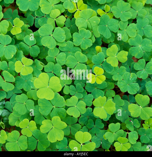 Clover - Stock Image