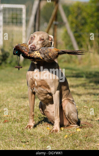 Weimaraner sitting with a pheasant dummy caught in its mouth on a meadow - Stock Image