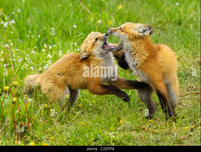 Red Fox babies at play. - Stock Image