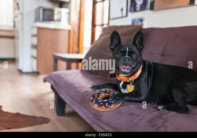 Portrait of dog on sofa holding onto doughnut toy - Stock-Bilder