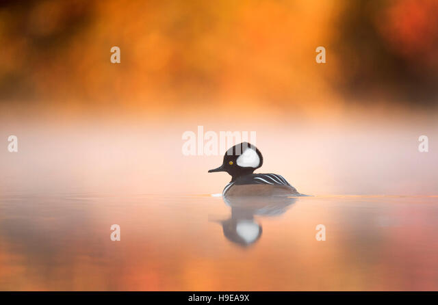 A male Hooded Merganser floats on a calm pond with fog hanging around him surrounded by vivid fall colors. - Stock Image