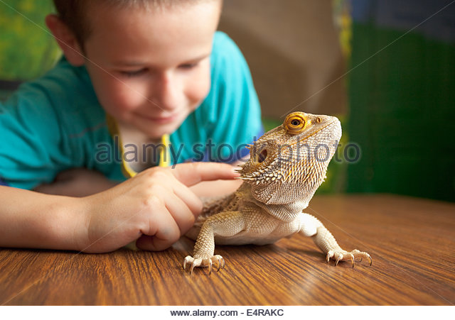 A young boy with a Bearded Dragon during an animal handling session at the Five Sisters Zoo, Polbeth, West Calder, - Stock Image